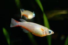 Ricefish Stock Photos