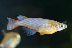Ricefish Royalty Free Stock Photography