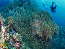 Ricefish / Glassfish. Colourful coral reef with glassfish swarm in similan, Thailand Stock Image