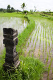 Ricefält Royaltyfria Bilder