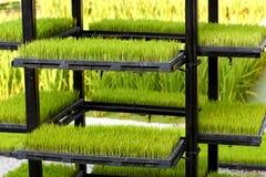 ricegroddar Arkivfoton