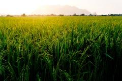 Ricelantgård, Royaltyfria Bilder