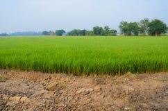 Ricelantgård Royaltyfria Foton