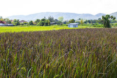 Ricelantgård i skog med berg Royaltyfria Bilder