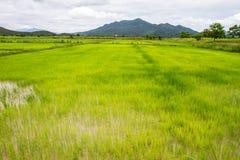 Ricelantgård i Thailand Royaltyfria Bilder