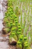 Riceodling Royaltyfria Foton