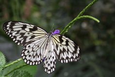 Ricepaper butterfly Royalty Free Stock Photography