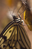 Ricepaper Butterfly Royalty Free Stock Photos