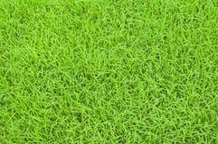 Riceplanta arkivfoto