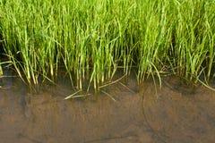 riceplantor royaltyfria foton