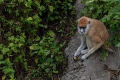 Ricerca dei patas del scimmia-Erythrocebus dell'alimento-Patas Fotografie Stock