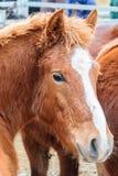 Ricerca del cavallo Immagine Stock