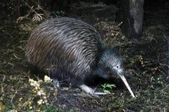 Ricerca del kiwi Immagini Stock Libere da Diritti