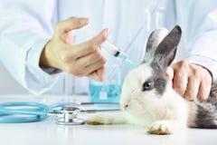 Ricerca del vaccino e della medicina, droga di prova dello scienziato nell'animale del coniglio immagine stock libera da diritti