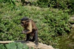 Ricerca dell'alimento della scimmia Fotografie Stock Libere da Diritti