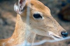 Ricerca dell'occhio di condizione dei cervi di Brown immagine stock