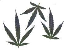 Ricerca delle foglie fresche dei telai e delle insegne di marijuanafor Fotografia Stock