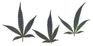 Ricerca delle foglie fresche dei telai e delle insegne di marijuanafor Fotografie Stock