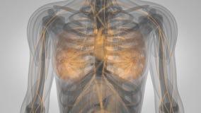Ricerca di crescita della ghiandola mammaria del corpo umano illustrazione di stock