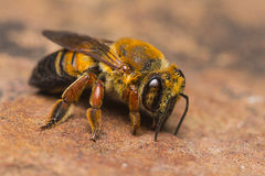 Ricerca di Honey Bee di minerale Immagini Stock