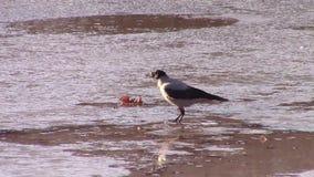 Ricerca incappucciata dell'alimento del corvo stock footage
