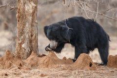 Ricerca maschio molto rara dell'orso di bradipo delle termiti in foresta indiana Fotografia Stock