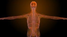 Ricerca medica anatomica maschio stock footage
