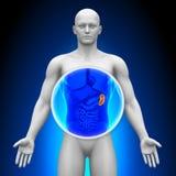 Ricerca medica dei raggi x - milza Fotografia Stock