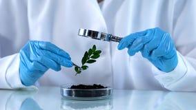 Ricercatore che sembra pianta verde tramite la lente d'ingrandimento, analisi di prodotti chimici per l'agricoltura fotografia stock