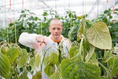 Ricercatore maschio sicuro che indica nella pianta del peperone dolce nel verde immagini stock libere da diritti