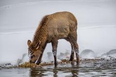 Ricerche degli alci del bambino di alimento lungo il bordo del fiume nell'inverno nei giallo fotografia stock