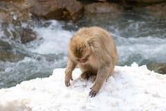 Ricerche del macaco di alimento al fiume della montagna fotografia stock libera da diritti