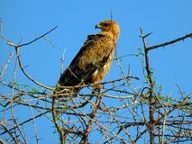 Ricerche ed attese di Eagle immagini stock libere da diritti