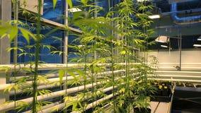 Ricerchi la cannabis medica per gli scopi medicinali, marijuana di scienza, con riferimento al dettaglio del fuoco, bio- sterile  video d archivio