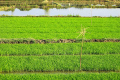 Rices farm view Stock Image