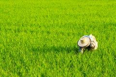Rices uprawiają ziemię widok Obrazy Stock