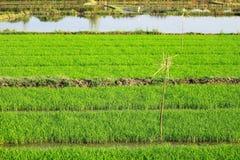 Rices uprawiają ziemię widok Obraz Stock