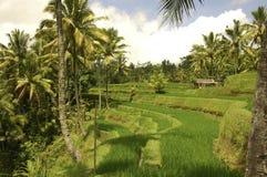 Riceterrass av Bali Indonesien arkivbild