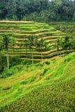 riceterrasser Royaltyfria Bilder