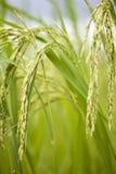 Riceväxt arkivbild