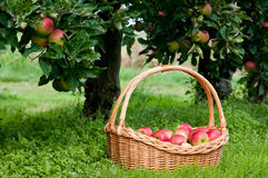 Rich apples harvest Stock Image