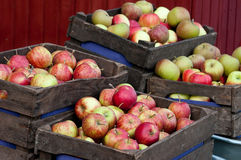 Rich apples harvest. The harvest of apples in wooden boxes Stock Photo