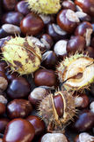 Rich brown autumn conkers from a horse chestnut tree Stock Photos