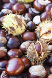 Rich brown autumn conkers from a horse chestnut tree Royalty Free Stock Photos