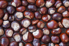 Rich brown autumn conkers from a horse chestnut tree Stock Photography
