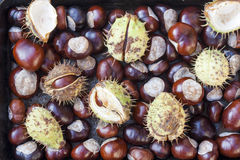 Rich brown autumn conkers from a horse chestnut tree Stock Image