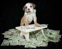 Rich Bulldog Puppy. Stock Images