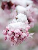 Rich cherry blossom under snow - 3 Royalty Free Stock Photography