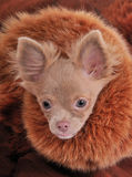 Rich chihuahua with chic fur brown collar Royalty Free Stock Images