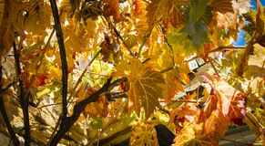 Colorful Autumn Grape Leaves. Rich colored vine leaves on a sunny autumn day Stock Photos